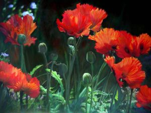 dow_pichaiwatkomol_poppy_from_the_garden